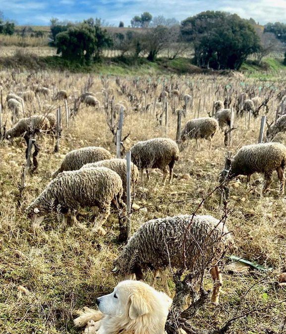 Le patou et les moutons