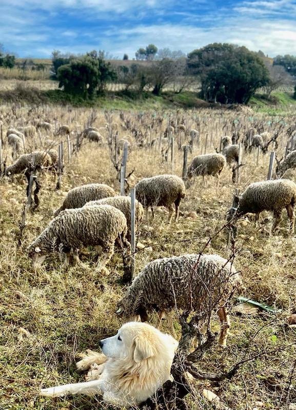 un patou qui compte les moutons jamais ne dort !